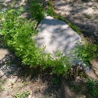 楠木の新芽